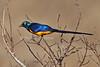 Golden-breasted Starling, Cosmopsarus regius, Tsavo East National Park, Kenya, Africa