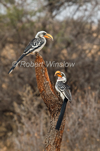 Two Eastern Yellow-billed Hornbills, Tockus flavirostris, Male on bottom, Samburu National Reserve, Kenya, Africa