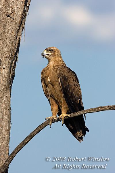 Eagle, Tawny Eagle, Aquila a. rapax, or, Aquila rapax, Masai Mara National Reserve, Kenya, Africa, Accipitriformes Order, Accipitridae Family
