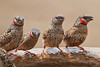 Cut-throat Finch, Amadina fasciata, Male, Tsavo East National Park, Kenya, Africa,  estrildid finch