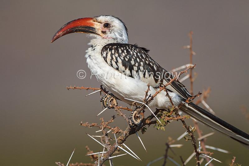 Red-billed Hornbill, Tockus erythrorhynchus, Samburu National Reserve, Kenya, Africa