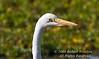 Heron, Great Egret, Casmerodius albus melanorhynchos, Masai Mara National Reserve, Kenya, Africa, Cinoniiformes Order, Ardeidae Family