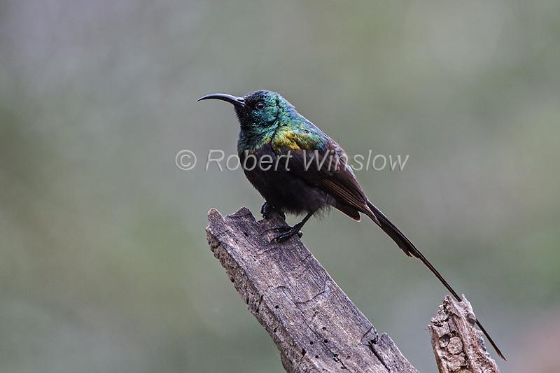 Male Bronze Sunbird, Nectarinia kilimensis, Lake Nakuru National Park, Kenya, Africa