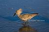 Hamerkop, Scopus umbretta, Lake Nakuru National Park, Kenya, Africa, Scopidae Family