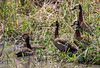 White-faced Whistling Ducks, Dendrocygna viduata, Masai Mara National Reserve, Kenya, Africa