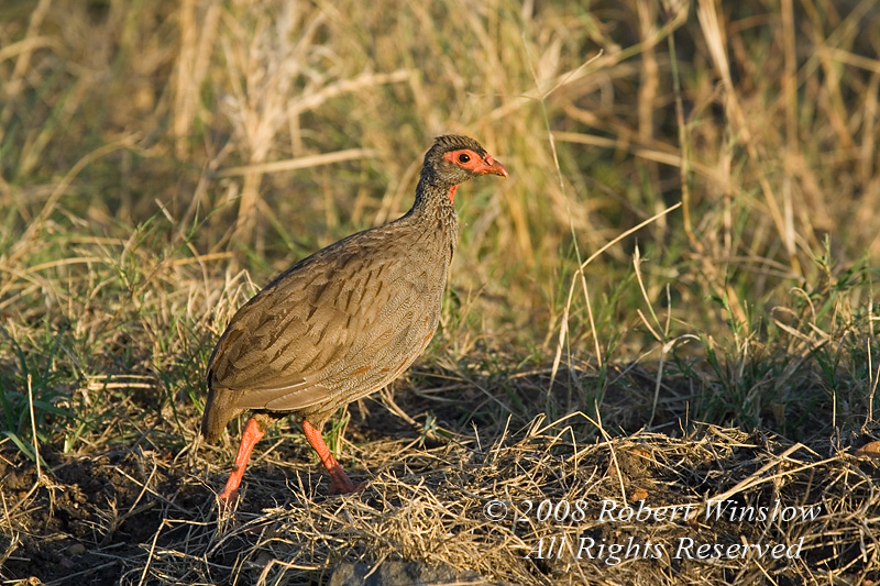 Spurfowl, Red Necked Spurfowl, Francolinus afer, Masai Mara National Reserve, Kenya, Africa, Galliformes Order, Phasianidae Family