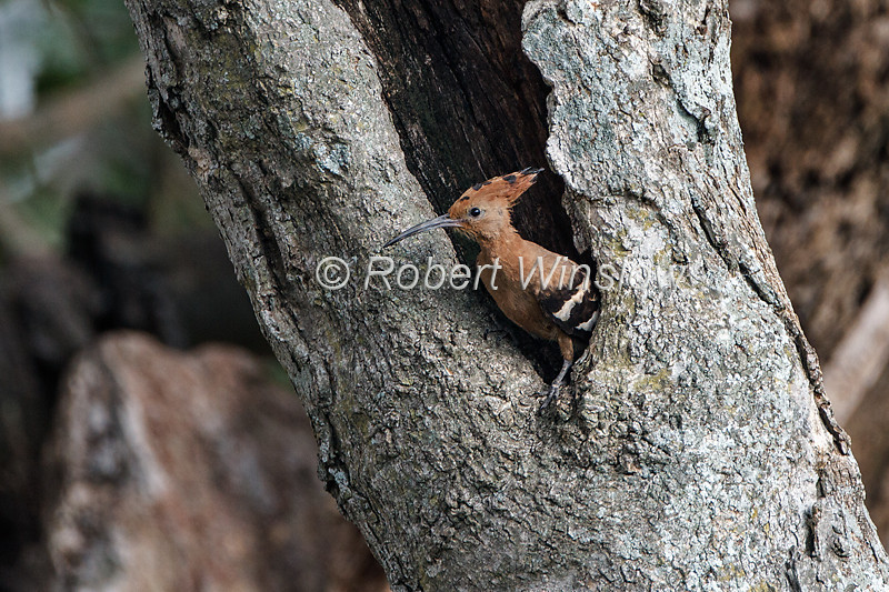 African Hoopoe, Upupa epops africana, at a nest in a tree, Masai Mara National Reserve, Kenya, Africa