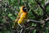 Northern Masked Weaver, Ploceus taeniopterus, Lake Baringo, Kenya, Africa