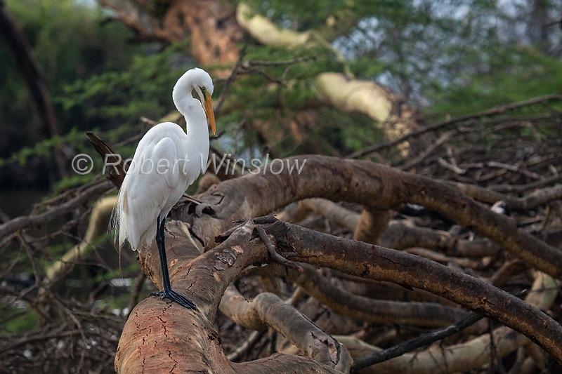 Great Egret, Ardea alba melanorhynchos, or Casmerodius albus, or Casmerodius albus  melanorhynchos, Lake Nakuru National Park, Kenya, Africa