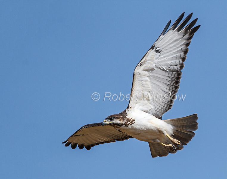 Augur Buzzard, Buteo augur, Samburu National Reserve, Kenya, Africa