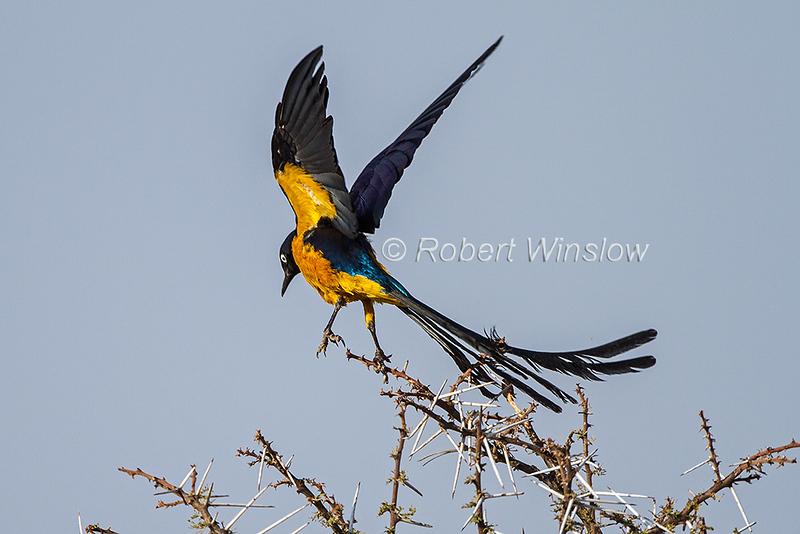 Golden-breasted Starling, Lamprotornis regius, Samburu National Reserve, Kenya, Africa