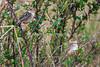 Stout Cisticola, Cisticola robustus, Masai Mara National Reserve, Kenya, Africa