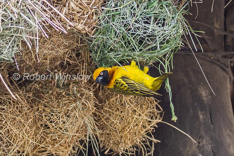 Speke's Weaver, Ploceus spekei, Ol Pejeta Conservancy, Kenya, Africa