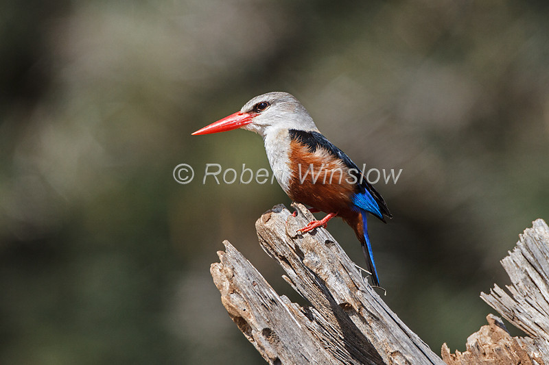 Grey-headed Kingfisher, Halcyon leucocephala, Samburu National Reserve, Kenya, Africa, Coraciiformes Order, Alcedinidae Family