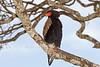 Bateleur, Terathopius ecaudatus, Masai Mara National Reserve, Kenya, Africa