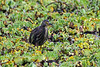 Rufous-bellied Heron, Ardeola rufiventris, Masai Mara National Reserve, Kenya, Africa, Cinoniiformes Order, Ardeidae Family