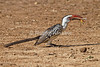 Red-billed Hornbill, Tockus erythrorhynchus, With a Locust in its Bill, Tsavo East National Park, Kenya, Africa