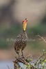 Yellow-necked Spurfowl, Francolinus leucoscepus, Samburu National Reserve, Kenya, Africa