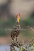 Yellow-necked Spurfowl, Francolinus leucoscepus, Samburu National Reserve, Kenya, Africa