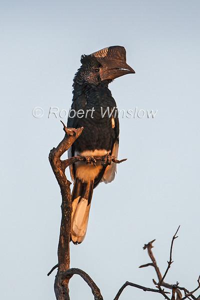 Black and white-casqued Hornbill, Masai Mara National Reserve, Kenya, Africa