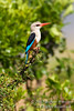 Kingfisher, Male Grey-headed Kingfisher, Halcyon l. leucocephala, Masai Mara National Reserve, Kenya, Africa, Coraciiformes Order, Alcedinidae Family