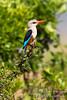 Kingfisher, Male Grey-headed Kingfisher, Halcyon l. leucocephala, Masai Mara National Reserve, Kenya, Africa, Coraciiformes Order, Alcedinidae Family