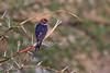 Lesser Striped Swallow, Hirundo abyssinica, Masai Mara National Reserve, Kenya, Africa