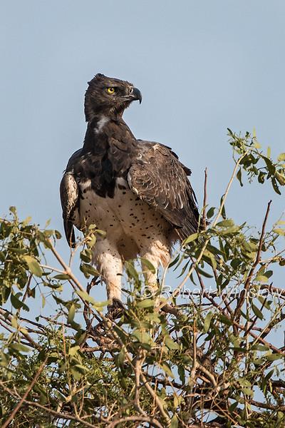 Martial Eagle, Polemaetus bellicosus, Samburu National Reserve, Kenya, Africa