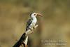 Hornbill, Red-billed Hornbill, Tockus erythrorhynchus, Samburu National Reserve, Kenya, Africa, Coraciiformes Order, Bucerotidae Family