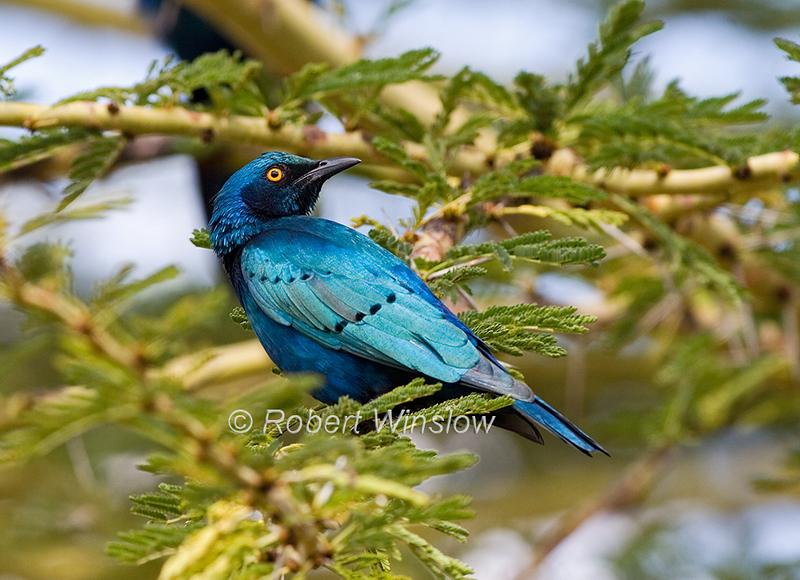 Starling, Greater Blue-eared Starling, Lamprotornis chalybaeus, Lewa Wildlife Conservancy, Kenya, Africa, Passeriformes Order, Sturnidae Family