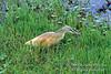 Heron, Squacco Heron, Ardeola ralloides, Amboseli National Park, Kenya, Africa, Ciconiiformes Order, Ardeidae Family