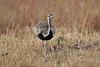 Black-bellied Bustard, Eupodotis melanogaster, Male, Masai Mara National Reserve, Kenya, Africa,aka  Lissotis melanogaster, Black-bellied Korhaan