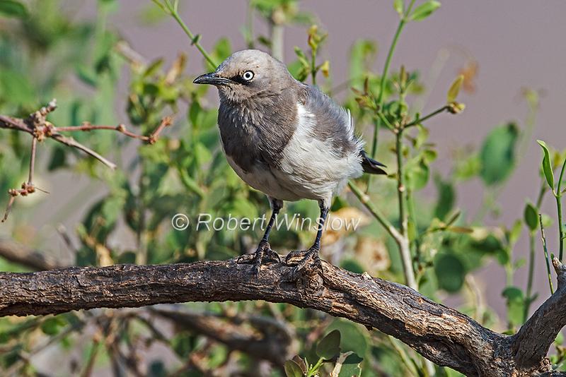 Fischer's Starling, Spreo fischeri, Samburu National Reserve, Kenya, Africa