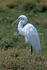 Great Egret, Casmerodius albus, Masai Mara National Reserve, Kenya, Africa