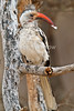 Male, Red-billed Hornbill, Tockus erythrorhynchus, With a Feather in its Bill, Samburu National Reserve, Kenya, Africa