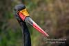 Female, Saddle billed Stork, Ephippiorhynchus senegalensis, Masai Mara National Reserve, Kenya, Africa, Ciconiiformes Order, Ciconiidae Family