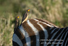 Oxpecker, Two Yellow-billed Oxpeckers, Buphagus a. africanus, on the Back of a Plains Zebra, Equus burchellii, Masai Mara National Reserve, Kenya, Africa, Passeriformes Order, Sturnidae Family