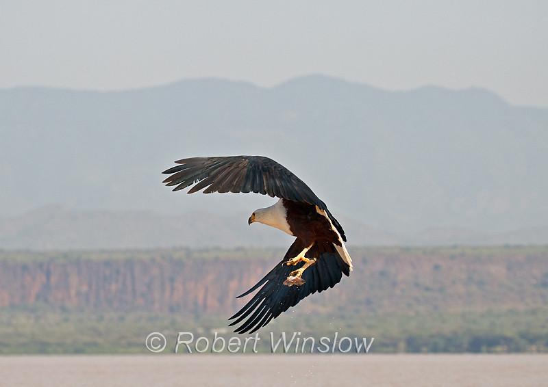African Fish Eagle, Haliaeetus vocifer, with a fish in its talons, Lake Baringo, Kenya, Africa