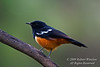 Mocking Cliff Chat, Myrmecocichla cinnamomeiventris, Order Passeriformes, Family Muscicapidae, Lake Nakuru National Park, Kenya, Africa