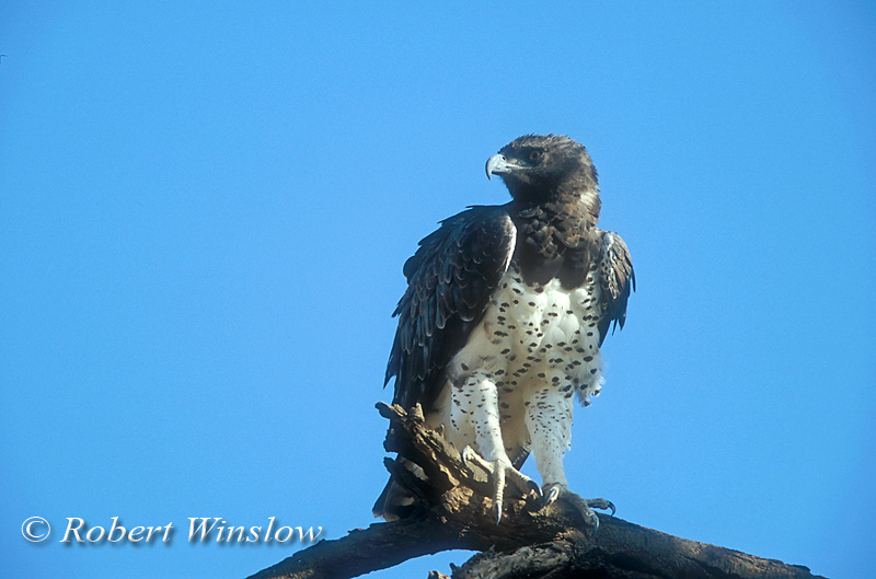 Eagle, Martial Eagle, Polemaetus bellicosus, Samburu National Reserve, Kenya, Africa, Accipitriformes Order; Accipitridae Family
