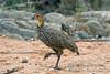 Spurfowl, Yellow-necked Spurfowl, Francolinus leucoscepus, Samburu National Reserve, Kenya, Africa, Galliformes Order, Phasianidae Family