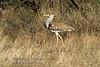 Bustard, Kori Bustard, Ardeotis kori struthiunculus, Samburu National Reserve, Kenya, Africa, Gruiformes Order, Otididae Family
