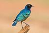 Superb Starling, Lamprotornis superbus, Samburu National Reserve, Kenya, Africa, Passeriformes Order, Sturnidae Family
