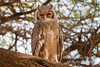 Verreaux's Eagle Owl, Bubo lacteus, Samburu National Reserve, Kenya, Africa