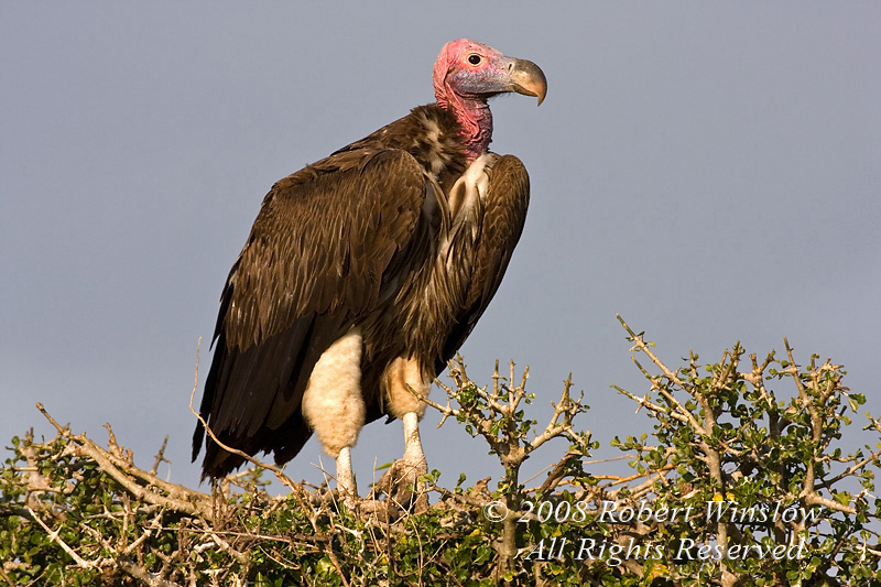 Vulture, Lappet Faced Vulture, Torgos tracheliotus, or, Torgos t. tracheliotus, Masai Mara National Reserve, Kenya, Africa, Accipitriformes Order, Accipitridae Family