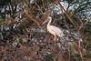 Pink-backed Pelican, Pelecanus rufescens, Samburu National Reserve, Kenya, Africa
