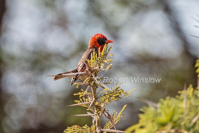 Red-headed Weaver, Anaplectes rubriceps, Samburu National Reserve, Kenya, Africa
