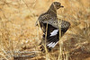 Thick-knee, Spotted Thick-knee, Burhinus capensis, Broken Wing Decoy, Samburu National Reserve, Kenya, Africa, Charadriiformes Order, Burhinidae Family