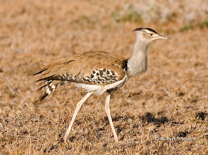 Bustard, Kori Bustard (Ardeotis kori struthiunculus). The Heaviest Flying Bird in Tropical Africa. Males weigh up to 18 kg or more.  Lewa Wildlife Conservancy, Kenya, Africa, Gruiformes Order, Otididae Family