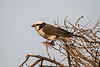 Northern White-crowned Shrike, Eurocephalus ruppelli, Samburu National Reserve, Kenya, Africa